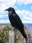 Raven, Grand Canyon National Park  [2005]