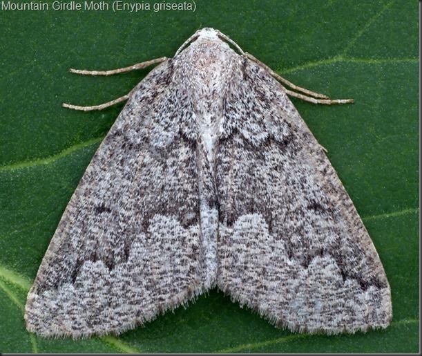 7006 Mountain Girdle Moth (Enypia griseata)