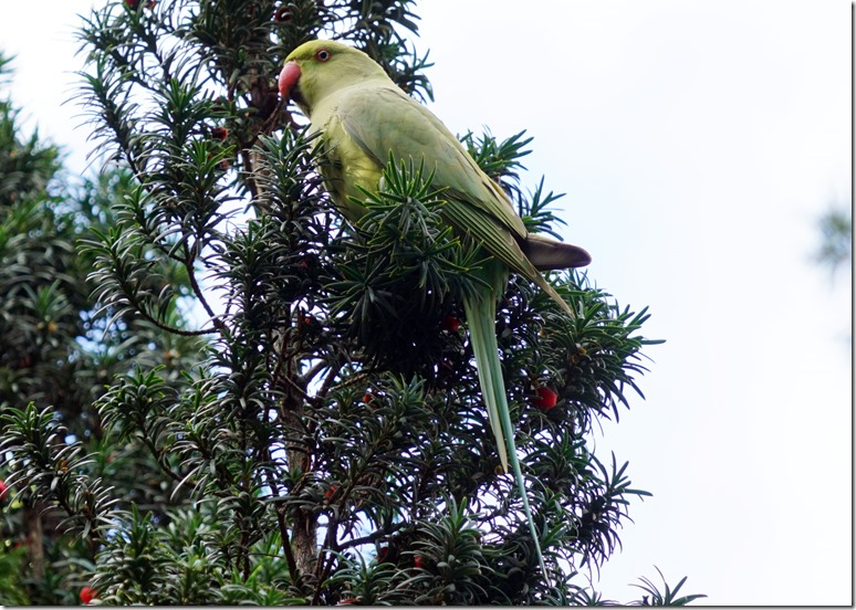 paris parrot 111815 00000