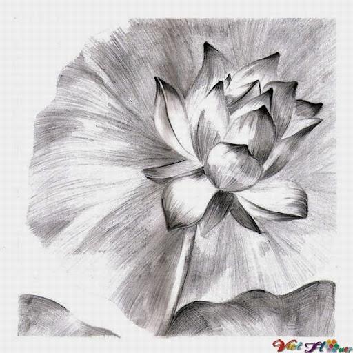 vẽ lá và hoa sen bằng bút chì