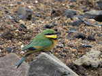 Little bee-eater (photo by Clare) - Kruger National Park