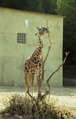 1991.08.24-098.23 girafe
