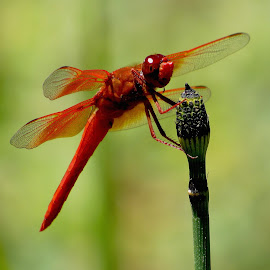 Red Dragonfly by Robin Rawlings Wechsler - Novices Only Macro ( macro, red, nature, wings, dragonfly )