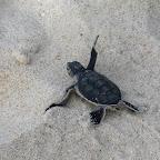 Schlüpfende Meeresschildkröte am Strand von Ras Kutani © Foto: Svenja Penzel | Outback Africa Erlebnisreisen