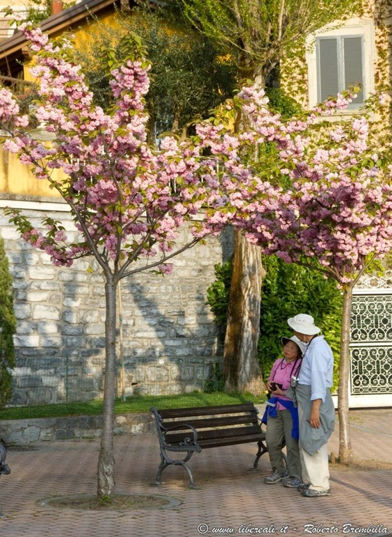 2015-04-15_Ciliegio giapponese-Prunus serrulata_Varenna-029 (FILEminimizer)