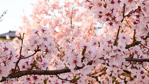 高遠城址公園の桜5