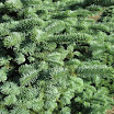 noble_fir_foliage09.jpg