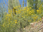 Brittlebush & saguaros 4/14