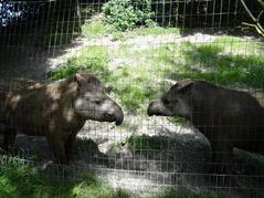 201506.21-082 tapirs du Brésil