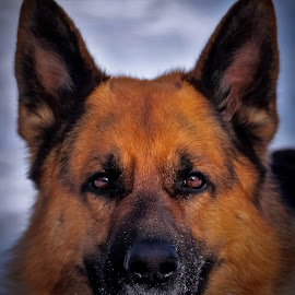 Snowy face by Sue Delia - Animals - Dogs Portraits ( face, winter, snow, dog, german shepherd )