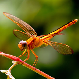 Dancing dragonfly  by SANGEETA MENA  - Animals Insects & Spiders