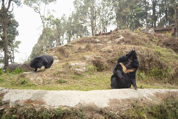 зоопарк дарджилинг гималайский медведь