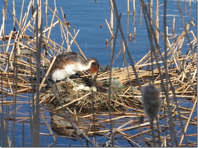 female crested grebe organising her eggs photo by susan wellington