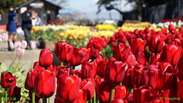 金香圣诞之梦(Tulipa Christmas Dream)