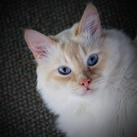 Pretty boy  by Janice Poole - Animals - Cats Portraits ( flamepoint, cat, blue eyes, rag doll, kitty )