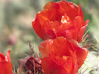 Buckhorn cholla flower close-up 5/8