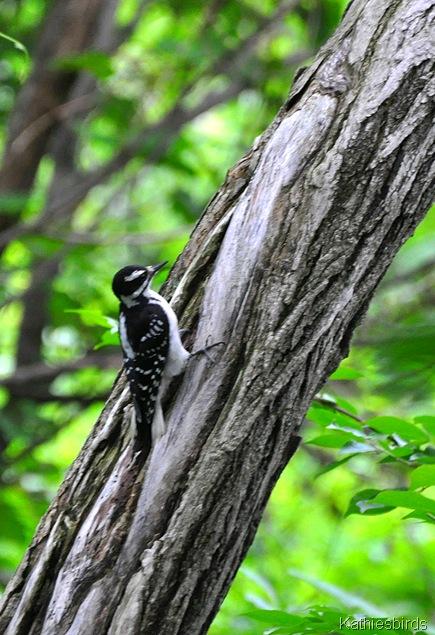 6. hairy woodpecker-kab