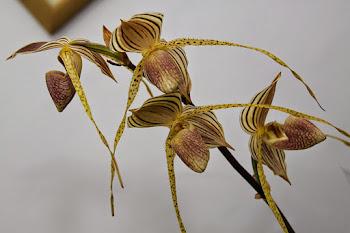 4ª Exposição de Orquídeas em Embu das Artes dias 30 e 31/5