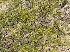 Creosote Bush in bloom 4/14