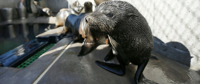 A Guadalupe fur seal passes by a sea lion as a SeaWorld animal rescue team member feeds them at their rescue facility in San Diego. Photo: Gregory Bull / AP Photo