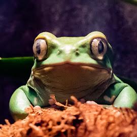 Look into my eyes... You are getting sleepy... by Adam Northrup - Animals Amphibians ( staring, waxy monkey frog, frog, amphibian, phyllomedusa sauvagii, eyes )