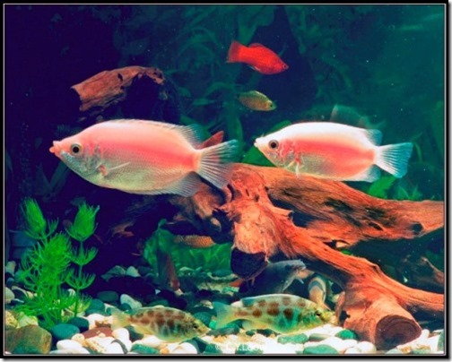 be-ca-canh-kissing_gourami_camui_cahuong004-be-thuy-sinh