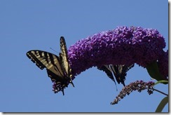 lopez tiger swallowtail 062015 00006