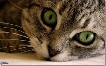 Ipertiroidismo felino