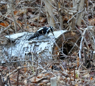 Hairy Woodpecker-kab