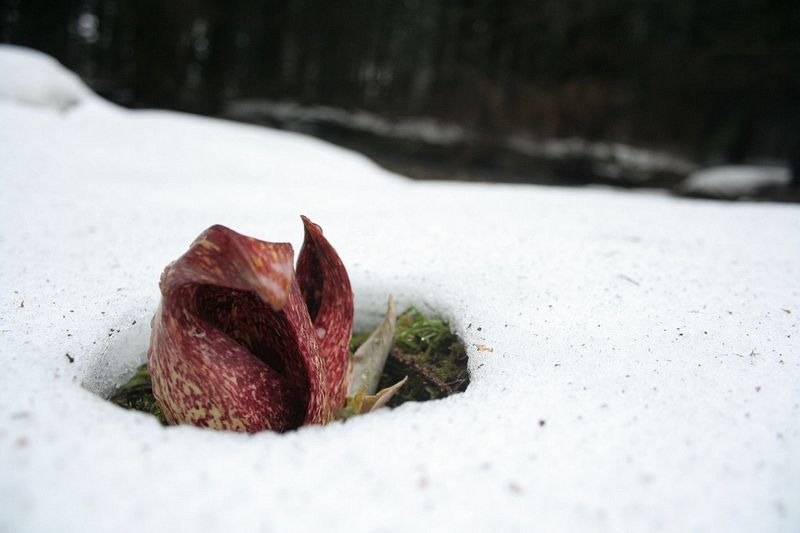 skunk-cabbage-7