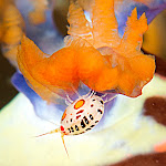 Ladybug on a nudibranch