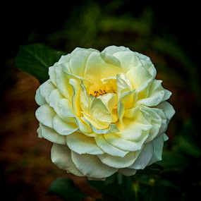 For One by Roy Walter - Flowers Single Flower ( rose, white rose, single flower, thorn, summer, garden, flower )