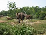 Elephants at the Nashville Zoo 09032011a