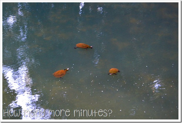 Platypus Viewing at Eungella | How Many More Minutes?