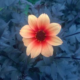 Contrasting Flower by Becky Walker - Novices Only Flowers & Plants ( orange, contrasting, plants, gardens, bright flower, beauty, leaves, pretty, yellow flower, harrogate, contrast, orange flower, nature, gorgeous, lovely, garden, flower )