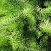 douglas_fir_foliage09.jpg