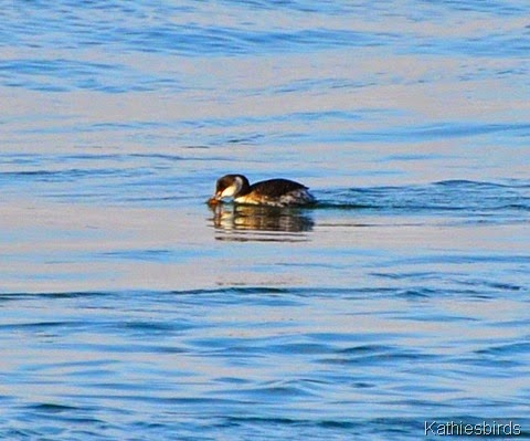 13. horned grebe-kab