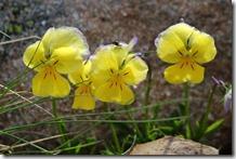 La pensée des Alpes (Viola calcarata) occupe les pelouses fraîches