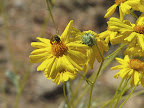 Bee on Brittlebush 4/15
