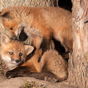 Red Fox Cubs/Bébés renards roux by Rachel Bilodeau - Animals Other Mammals ( red fox cubs bébés renards roux juvénile )