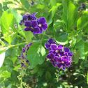 Skyflower; Pigeonberry