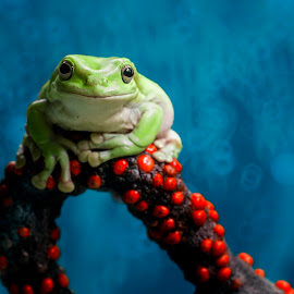 Frog, Red, Macro by Sulistyo Aji - Uncategorized All Uncategorized ( macro, wasp, red, blue, frog, green, indonesia, insect,  )