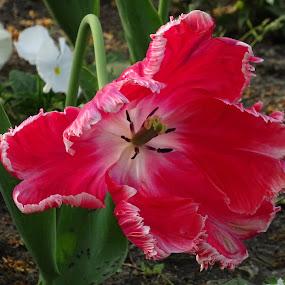tulip by Dobrinka Ivanova - Uncategorized All Uncategorized ( red, tulip )