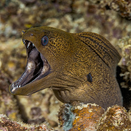 yellowmargin moray  by Peter Schoeman - Animals Sea Creatures ( coral, colorful, underwater, undersea, threatening, tropical, wildlife, ocean, yellow, yellow-edged, exotic, photography, open, life, nature, head, animal, eye, water, scary, marine, wild, isolated, yellowmargin, reef, creature, eel, mouth, dive, sea, speckled, teeth, red, aquatic, tooth, moray, scuba, scene, big, diving, natural )
