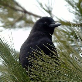 BLACK BIRD by Cynthia Dodd - Novices Only Wildlife ( bird, animals, tree, nature, wildlife, birds )