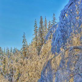 Frosting on the cake. by Todd Bellamy - Nature Up Close Trees & Bushes ( winter, snow, frost, trees, forest )