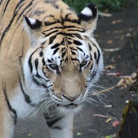Tiger by Chris McCollister - Animals Lions, Tigers & Big Cats ( big cats, zoo, tiger, stripes )