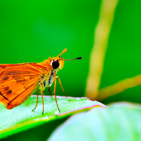 sweet butterfly.. by Agus Wahyudi Photoworks - Animals Insects & Spiders