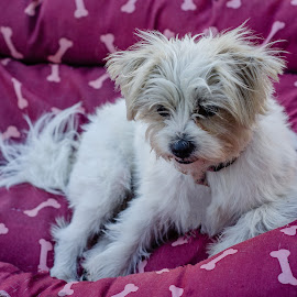 Pretty in Pink by Ruth Tomlinson - Animals - Dogs Portraits ( pink, relaxing, terrier, cute, maltese,  )