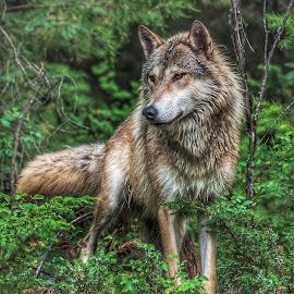 Alpha Wolf by Valerie Cozart - Animals Other Mammals ( wolf, tundra, outdoor, male, alpha, wildlife )